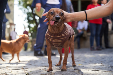 Brown chihuahua dog with owner. Cute puppy the Toy Terrier