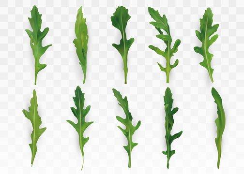 Green leaf arugula isolated on transparent background. Fresh salad or rucola. Collection green leaf arugula. Salad for your menu. 3D vector illustration.