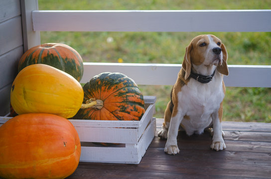 Beagle dog and big yellow pumpkins on the summer veranda of a wooden country house