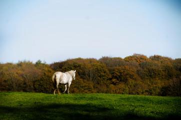 Fototapeta Horse in Scandinavian forest in autumn