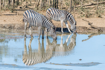 Two Burchells zebras with their reflections visible, drinking water