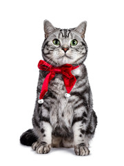 Wall Mural - Handsome British Shorthair cat sitting up, wearing red velvet ribbon with bells around neck. Looking above camera with green eyes. Isolated on white background.