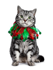 Wall Mural - Handsome British Shorthair cat sitting up, wearing red green festive collar around neck. Looking straight at camera with green eyes. Isolated on white background.