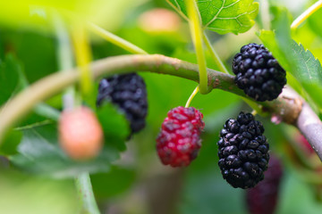 black ripe and red unripe mulberries on branch of tree