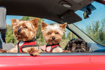 Three little dogs leaning out of car window