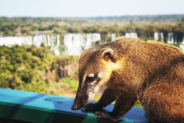 wild coati (nasua) at Iguazu Falls