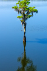 Large healthy Bald Cypress Tree