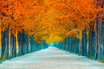 In de dag Baksteen Tree tunnel in autumn and row of ginkgo tree and walkway in yellow tree tunnel South Korea