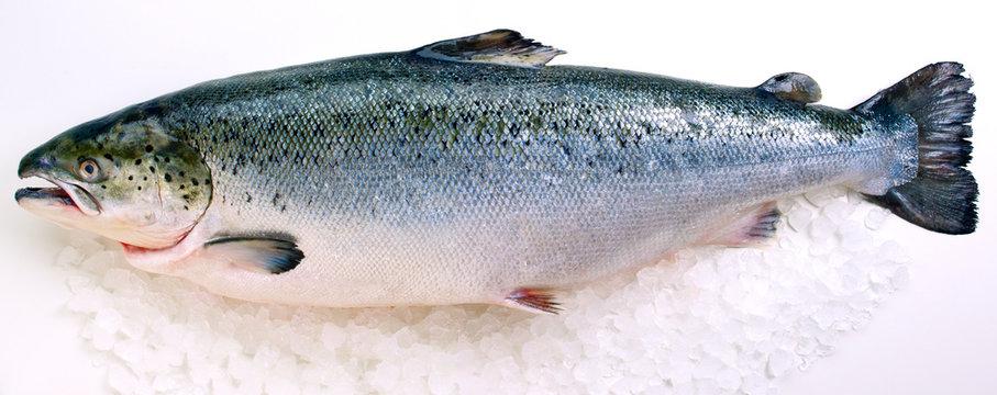 Fresh whole Salmon on ice against white background