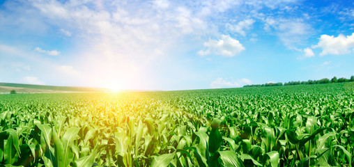 Green corn field and bright sunrise against the blue sky. Wide photo. Fototapete