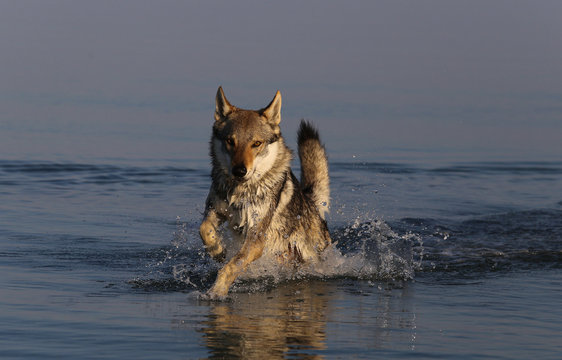 Wolfdog in the water