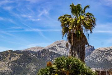 Landscape around the village Campanet in the north of Mallorca with a palm tree in the foreground and mountain range in the background