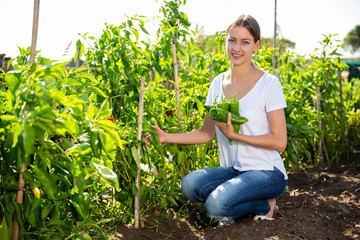 Fototapete - Young woman  horticulturist  picking  harvest of  peppers  in garden