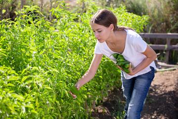 Fototapete - Positive young female  gardener  picking  harvest of  green peppers