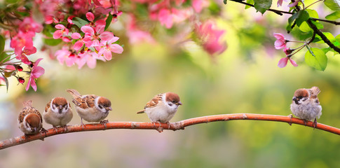Fotorolgordijn Lente small funny Sparrow Chicks sit in the garden surrounded by pink Apple blossoms on a Sunny may day