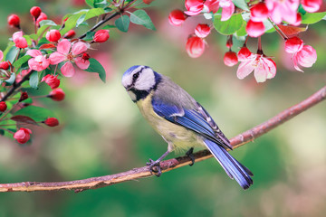 Printed roller blinds Bird portrait of bright bird tit lapis lazuli sits in a garden surrounded by pink Apple blossoms on a Sunny may day