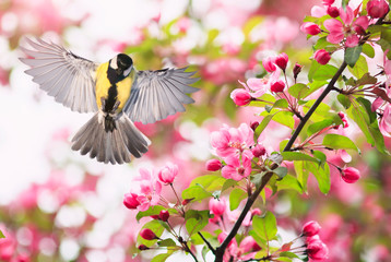 Fototapeta portrait bird tit flies widely spreading its wings in the garden surrounded by pink Apple blossoms on a Sunny may day obraz