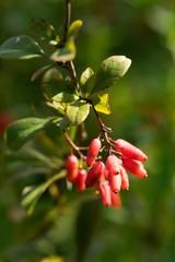 Fototapeta Rosehip, rosehip berries on background.