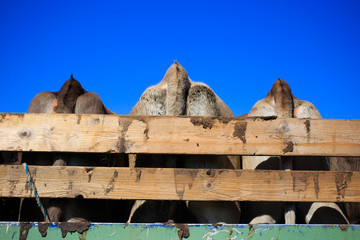 Cow butts on a tractor siding under the Alps