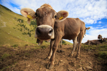 Cow in the high mountains in Alps