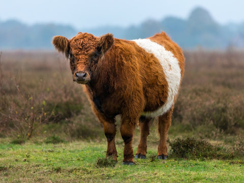 Belted Galloway cow standing at ease in the heath staring in the camera