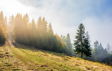 fantastic foggy weather in autumn. low cloud above the forest on the hillside. spruce tree on the grassy glade. magical moment in the morning. wonderful nature scenery. path uphill in to the woods