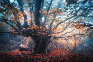 Aluminium Prints Autumn Old magical tree with big branches and orange leaves in blue fog in rain. Autumn colors. Mystical foggy forest. Scenery with fairy forest in fall. Colorful landscape with beautiful misty old tree