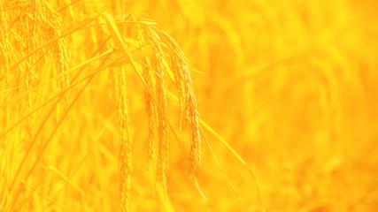 Foto op Canvas Meloen rice field background with blank space