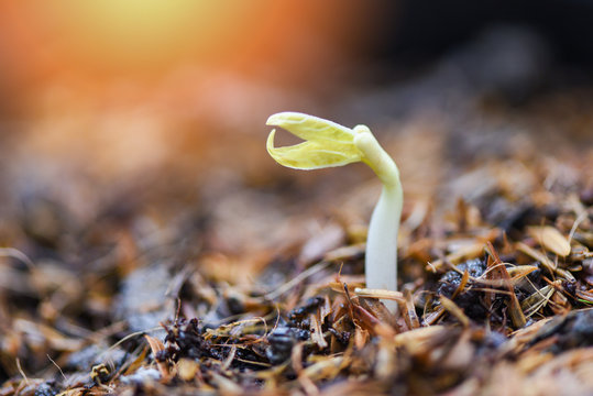 Close up Organic Sprouting beans on Cultivated soil - bean sprout seed growing out of ground agriculture
