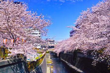 Foto op Canvas Kersenbloesem 春の目黒川桜まつり