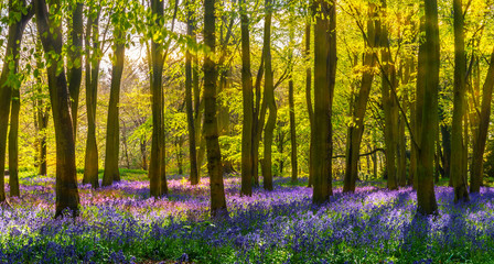 Poster Forets Bluebell woods - sunlight casts shadows across purple flowers