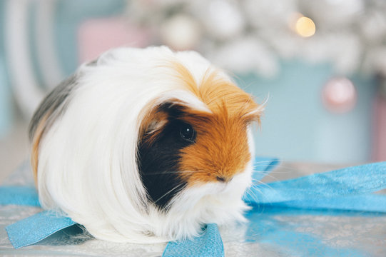 closeup of cute little long hair guinea pig pet animal sitting on silver box with blue tape with christmas tree with toys on background in xmas eve