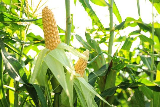Ripe corn cobs in field on sunny day