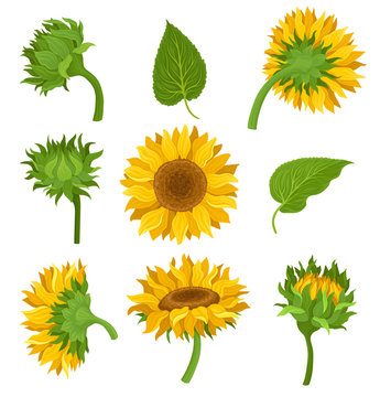 Botanical Set Of Elements Of Sunflowers Colored Vector Illustrarions