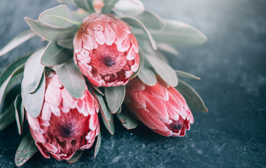 Fotoväggar - Protea flowers bunch. Blooming Pink King Protea Plant over dark background. Extreme closeup. Holiday gift, bouquet, buds. One Beautiful fashion flower macro shot. Valentine's Day gift