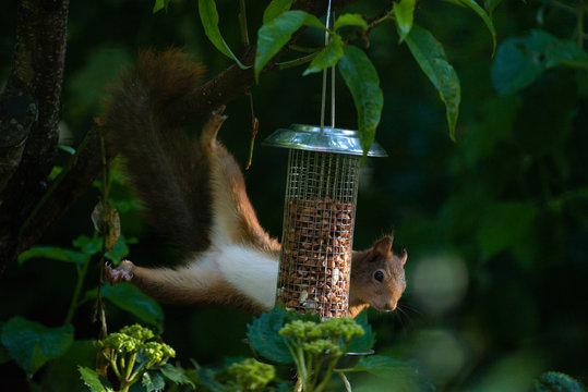 Red squirrel eating nuts from a birdfeeder