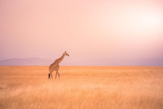 Lonely giraffe in the savannah Serengeti National Park at sunset.  Wild nature of Tanzania - Africa. Safari Travel Destination.