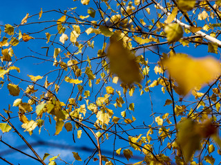 Brzoza jesienią - liście
