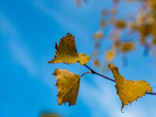Brzoza liście
