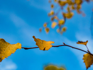 Liście brzozy jesienią