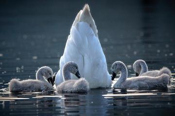 Foto op Plexiglas Zwaan Schwan-Familie mit Küken im Wasser