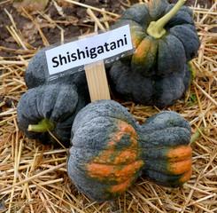 Shishigatani, Kuerbis, Speisekuerbis