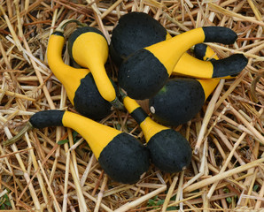 Koshare Yellow, Zierkuerbis, Kuerbis