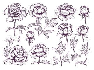 Peonies doodle. Leaves and buds floral pictures botanical vector hand drawn collection. Illustration floral botanical blossom flowers