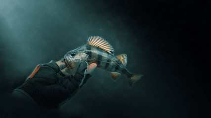 Perch in the hand of a fisherman, close-up on a dark background.
