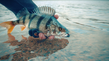 "Perch closeup. Fishing on the principle ""catch and release"""