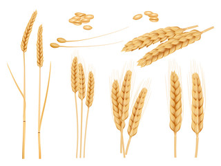 Obraz Wheat grains. Agricultural collection of healthy organic food harvesting plants barley vector pictures. Illustration grain organic crop ear - fototapety do salonu