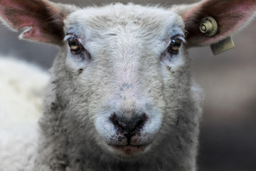 Fond de hotte en verre imprimé Sheep portrait of a sheep