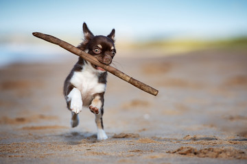 funny chihuahua puppy playing with a stick on the beach