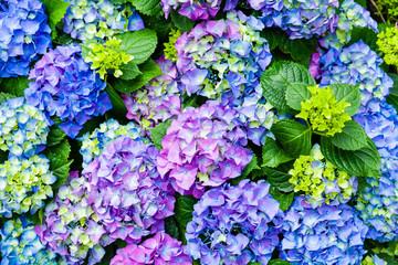 Blühende Hortensien
